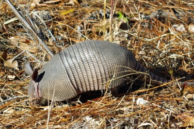 An armadillo burrows through the ground cover.
