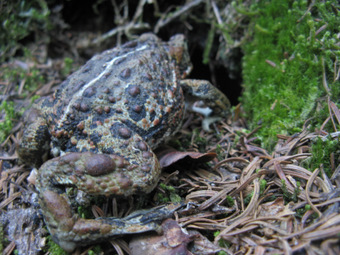 Boreal toads on the trail head for their winter burrows far from water.
