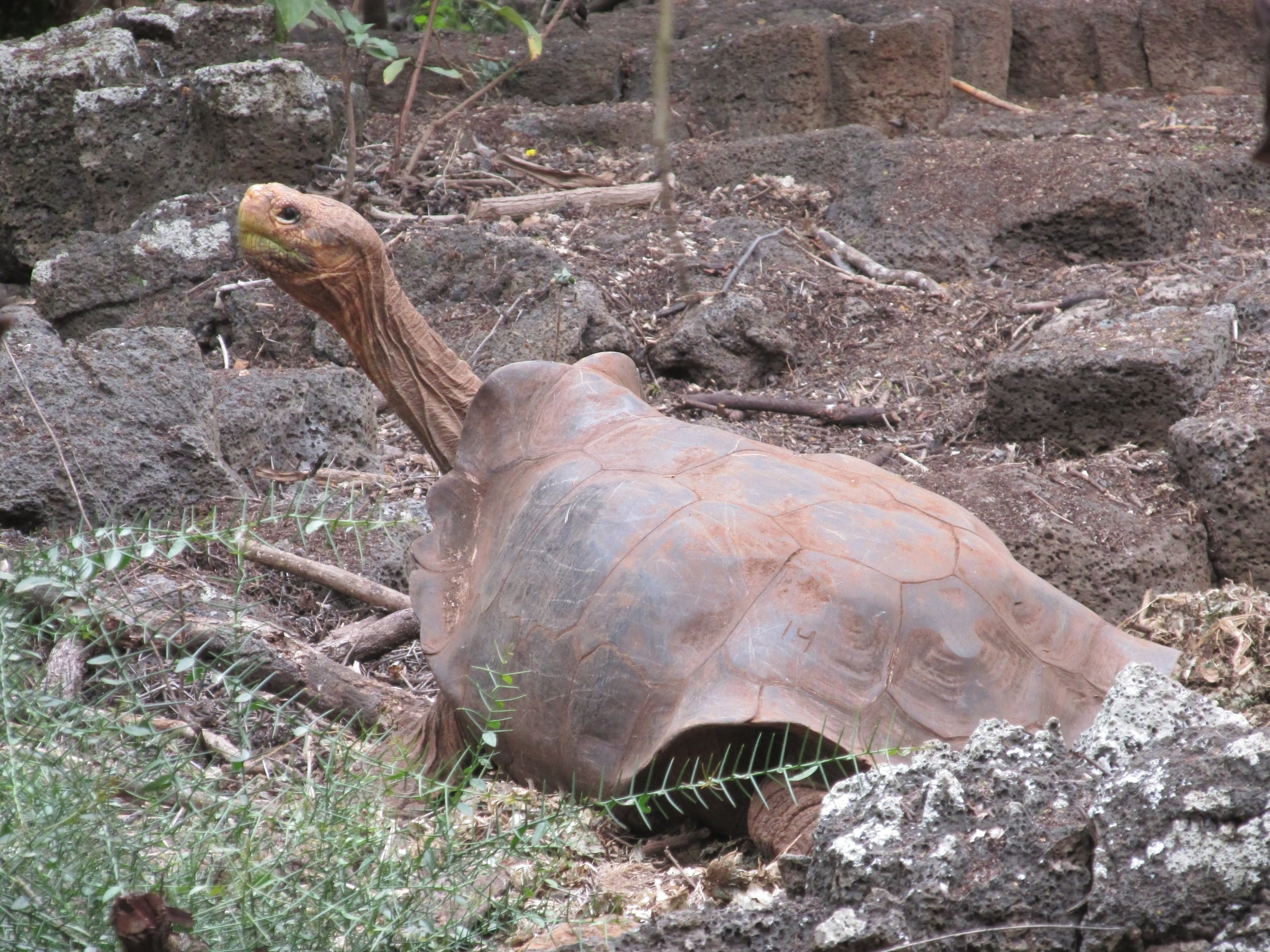 This tortoise evolved a saddleback to allow its long neck to reach delicious cactii.