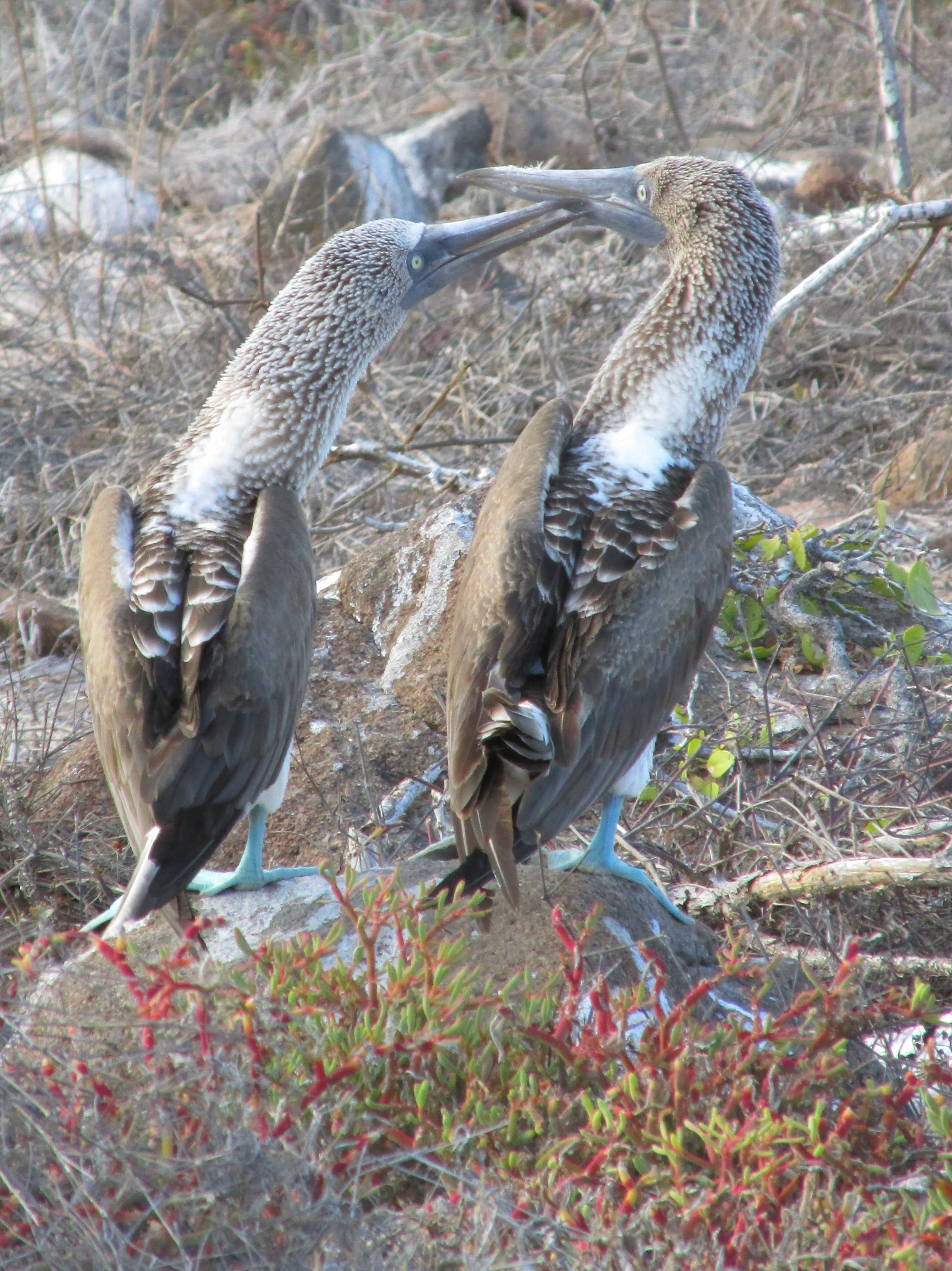 The courtship dance involves lots of head bobbing and foot lifting.
