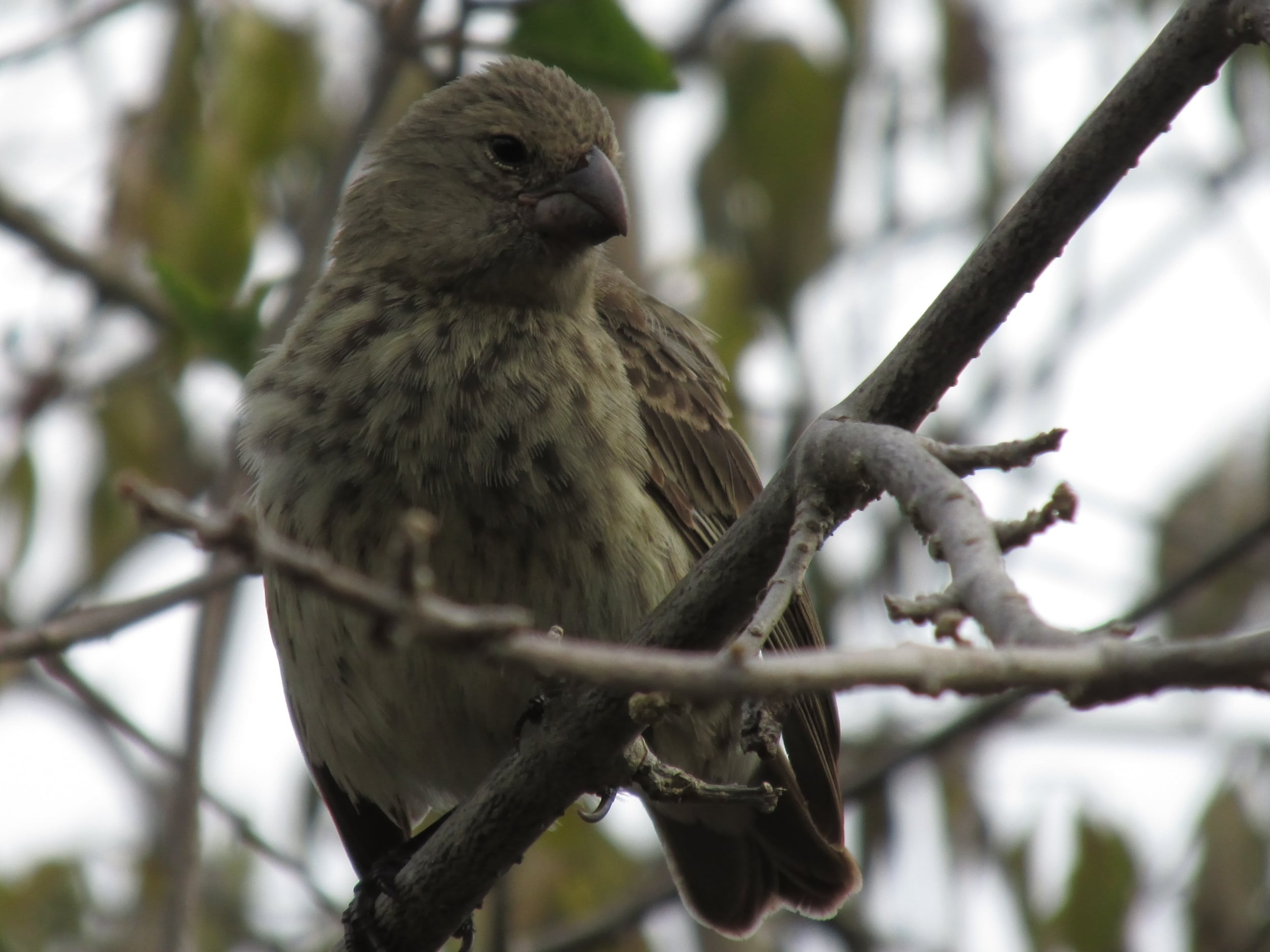 These finches are named after Darwin, but the mockingbirds were what inspired his idea of evolution.