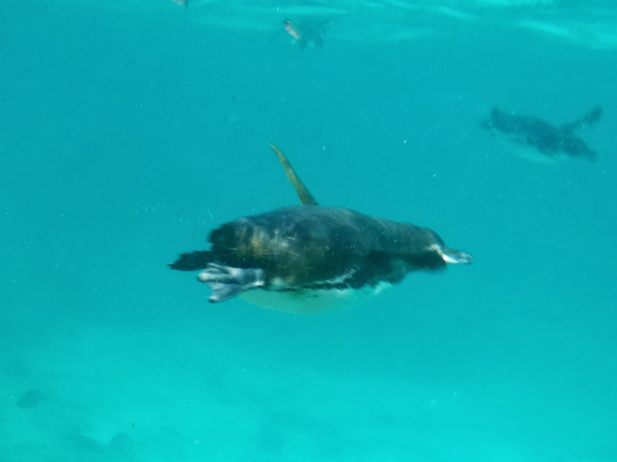 These penguins flew by us, showing off their grace and character under the water.