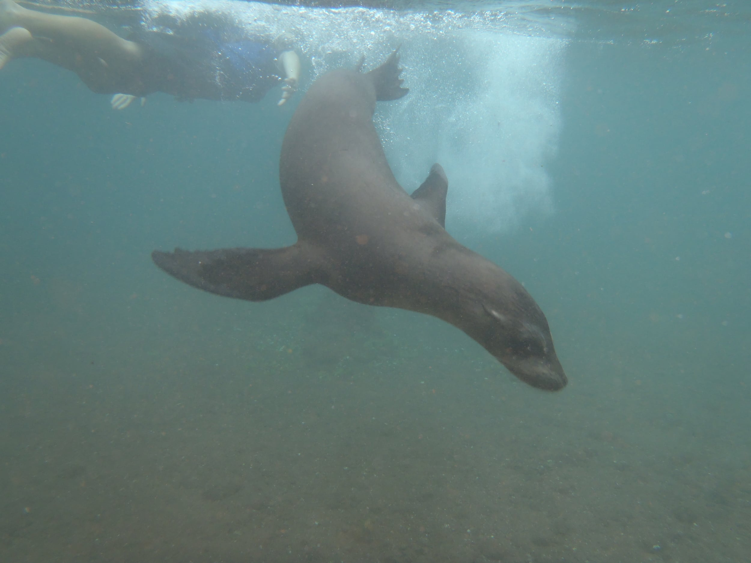 This sea lion turns flips while I doggy  paddle and watch.