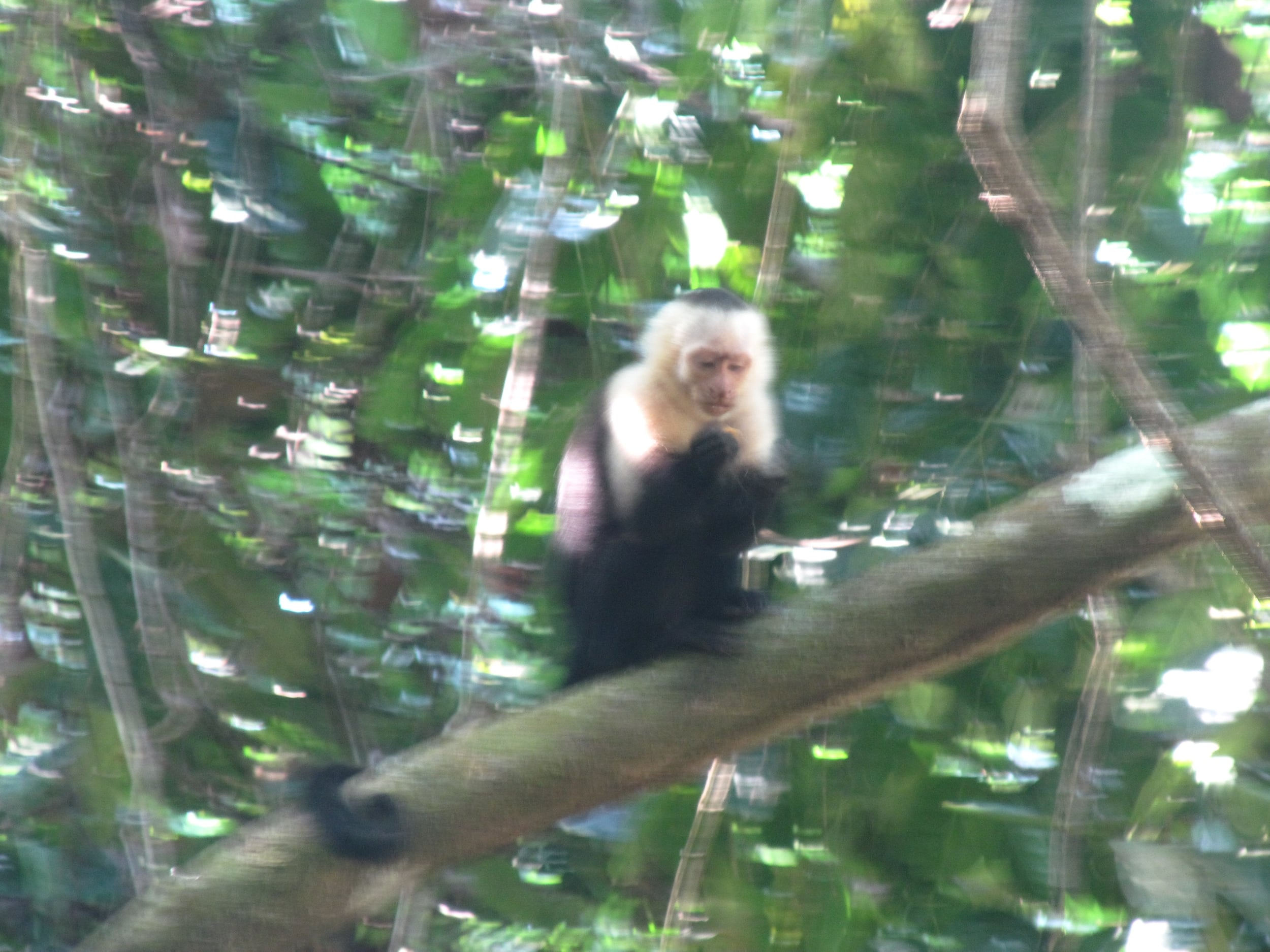White faced capuchins. Blurry...yet. I took a LOT of blurry animal photos in Costa Rica.