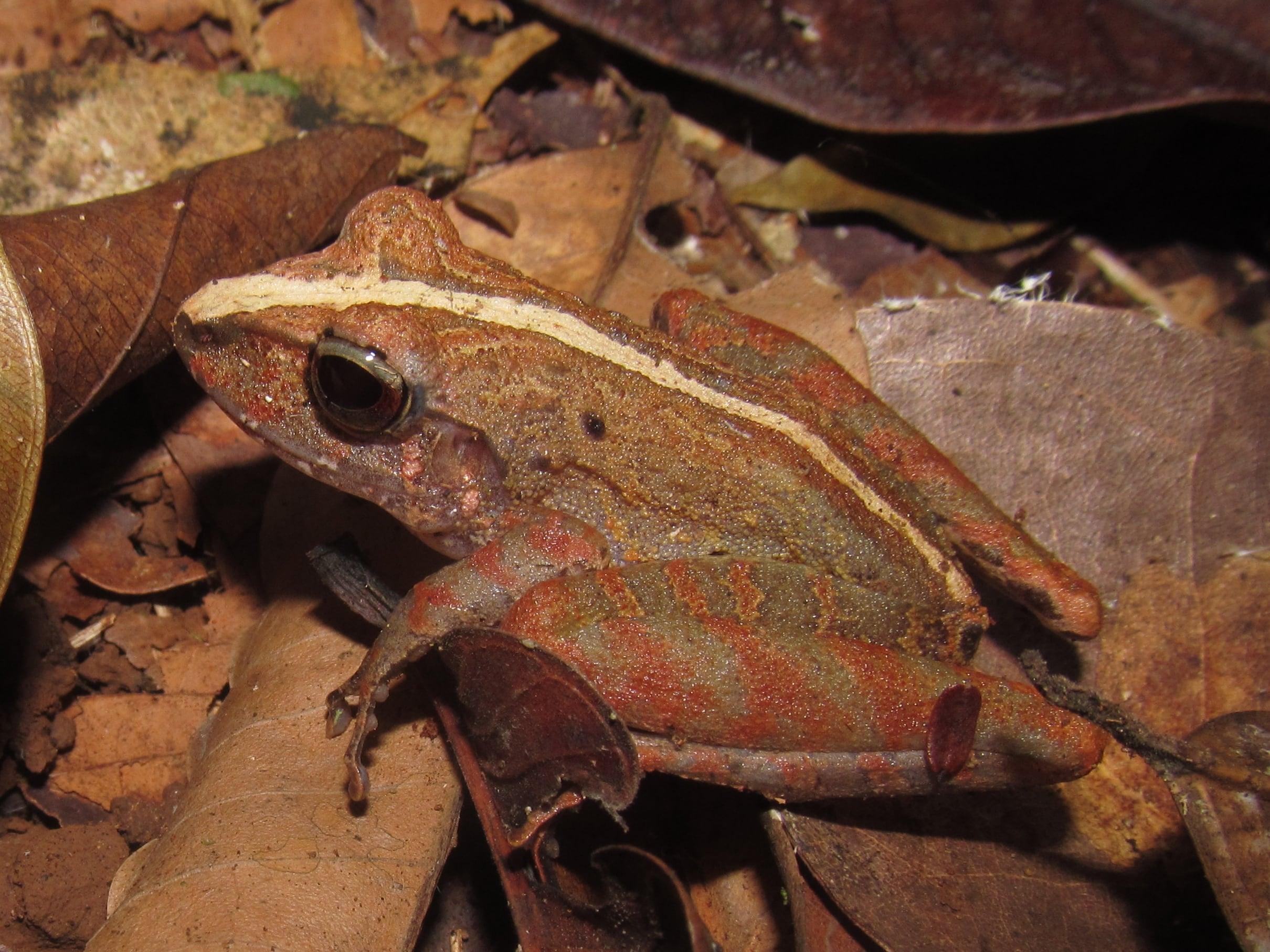 One of many amazing frogs we saw during a day hike in the Corcovado National Park.
