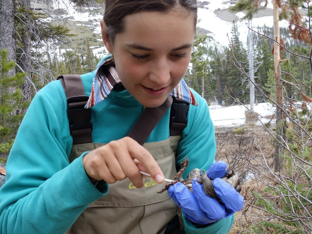The canoers of On The River are biologists too. Here Nia swabs a western toad to see if it has the deadlychytrid fungus, which along with habitat loss, pollution, and climate change has lead to global amphibian declines.