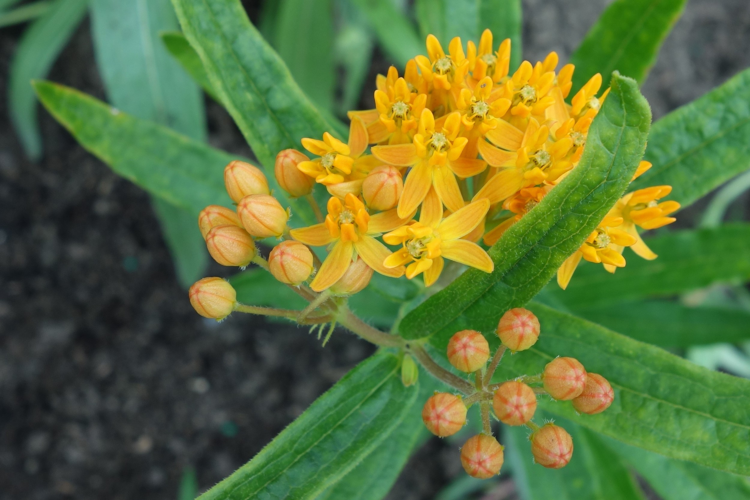 There is a huge variety of milkweed plants to choose from. Butterflyweed (Asclepias tuberosa) is a popular choice because it doesn't spread too much and it is a showstopper!