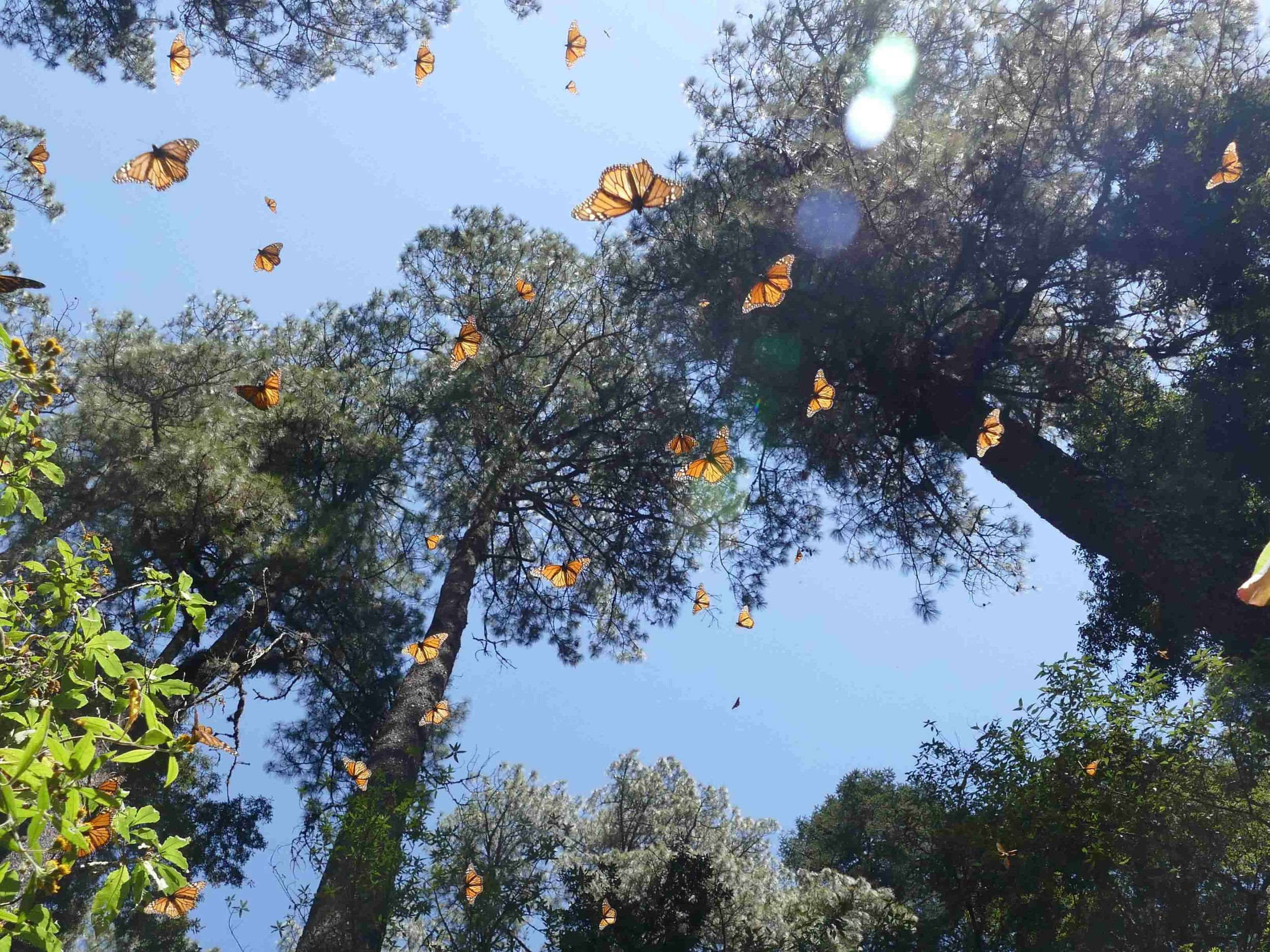 When the sun came out the monarchs began to fly.