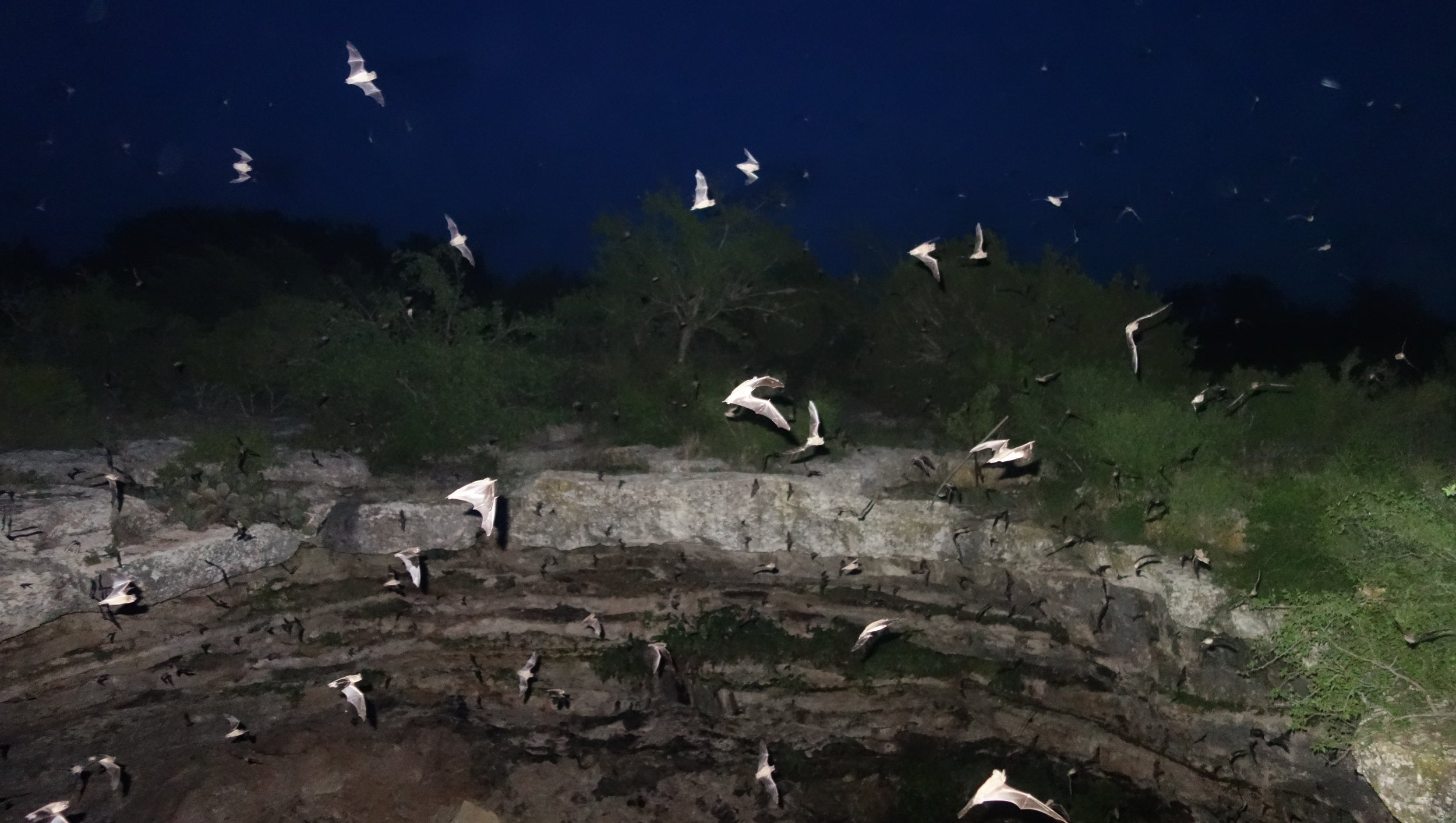 Mexican free tailed bats emerge from the Devil's Sinkhole in TX. I was very happy that I decided to wait for dark and see all the bats!