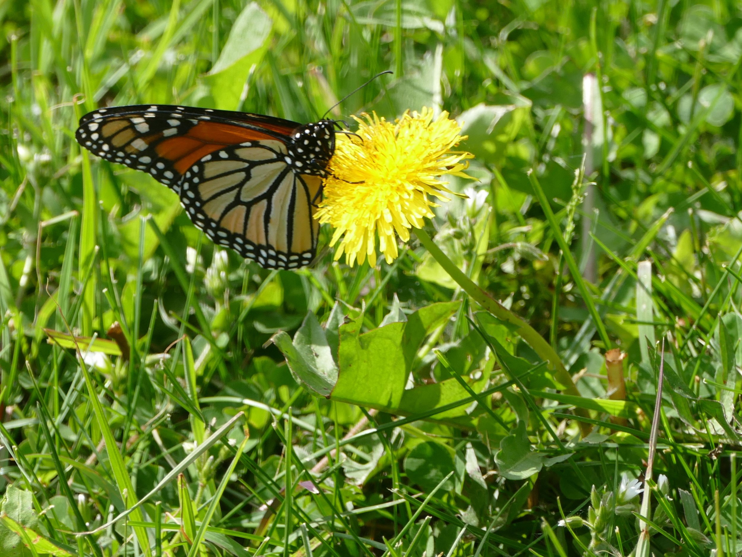 This monarch greeted me to Minnesota and was a welcomed relief.