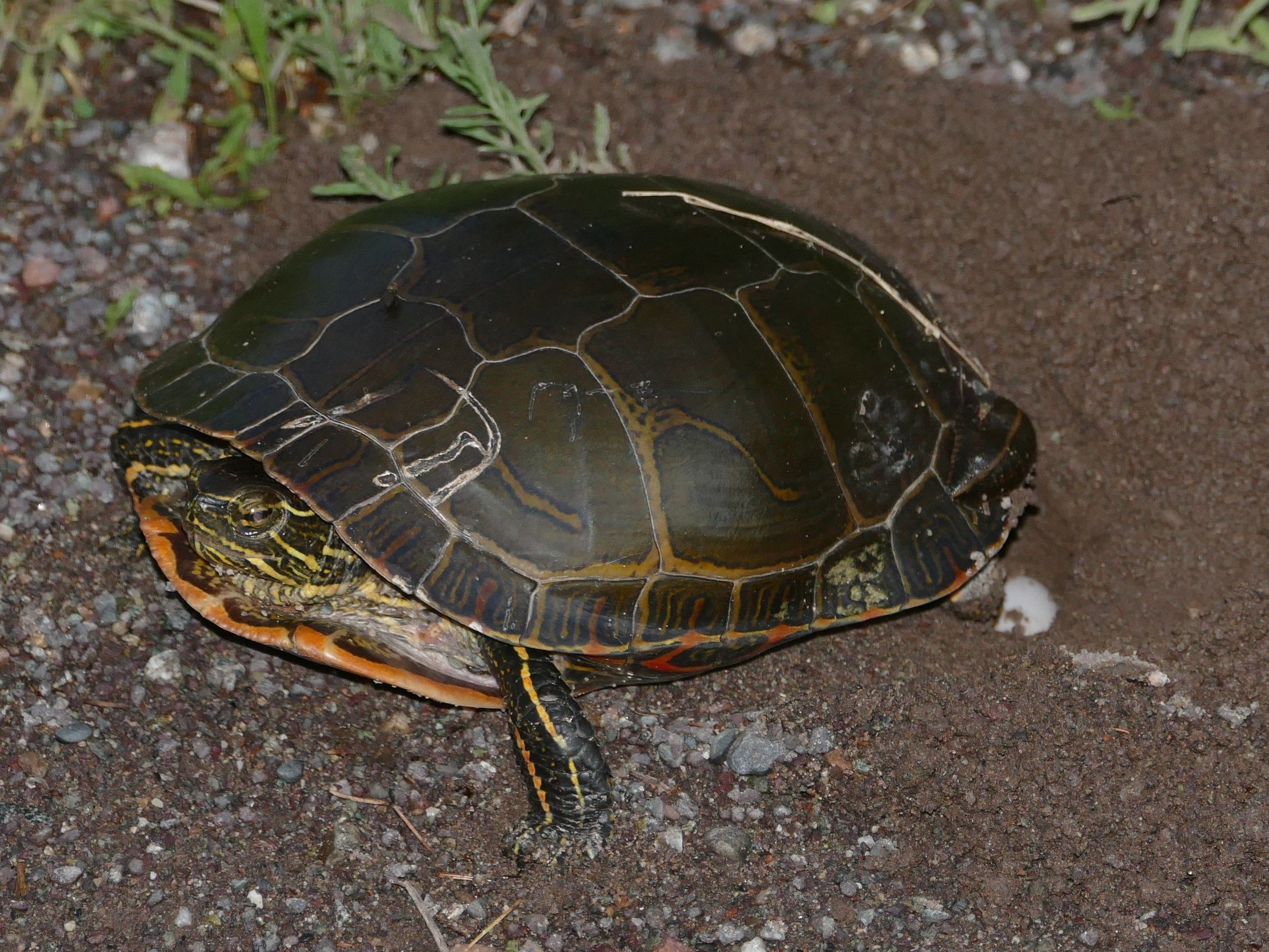 I saw several species of turtles nesting, I took this photo quickly so I could leave her in peace and she could continue to lay her eggs.