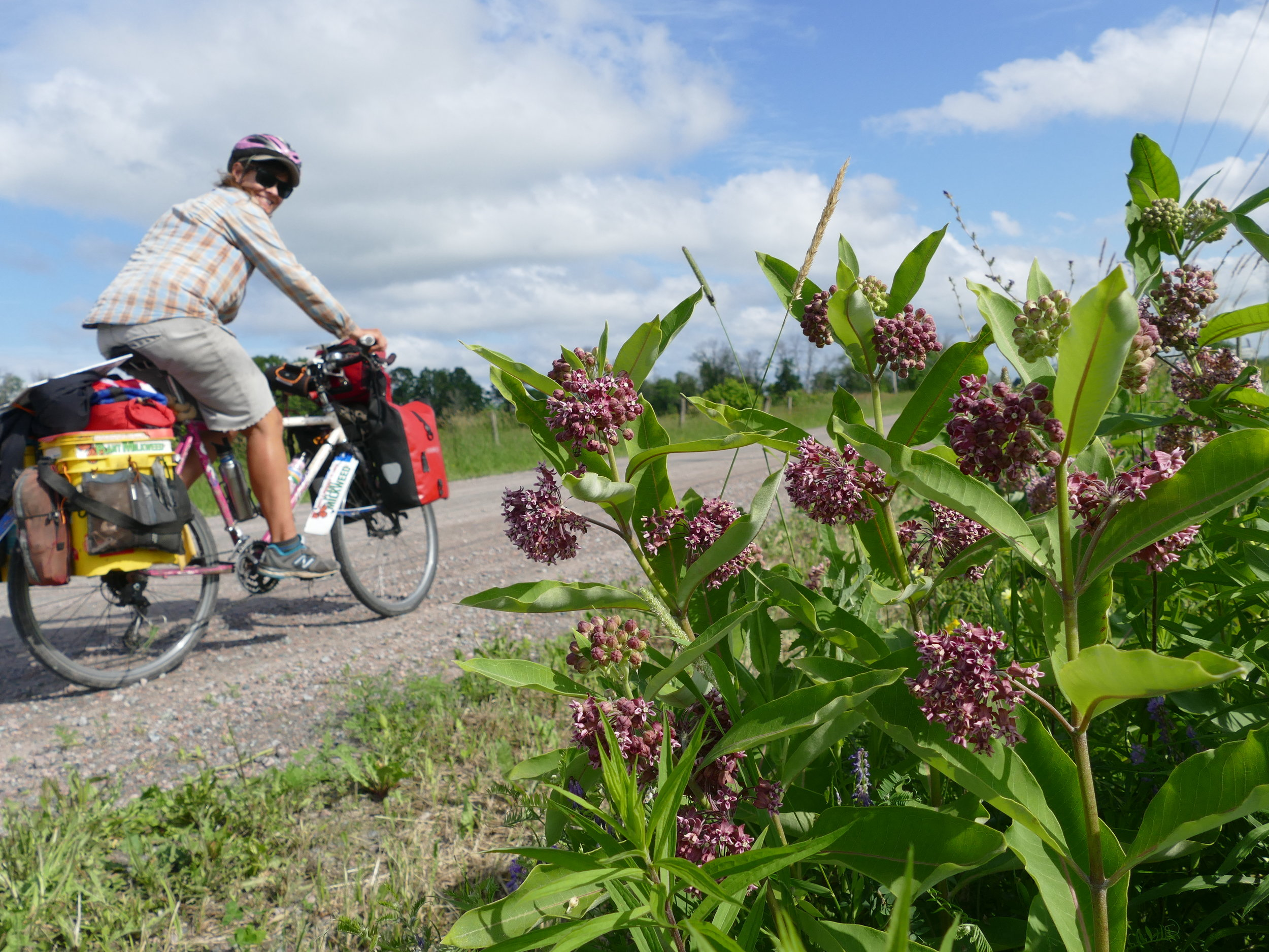 At least milkweed is beautiful and,riding by them, you can't ignore the color, all the pollinators they attract, or the strong, flowery smell.