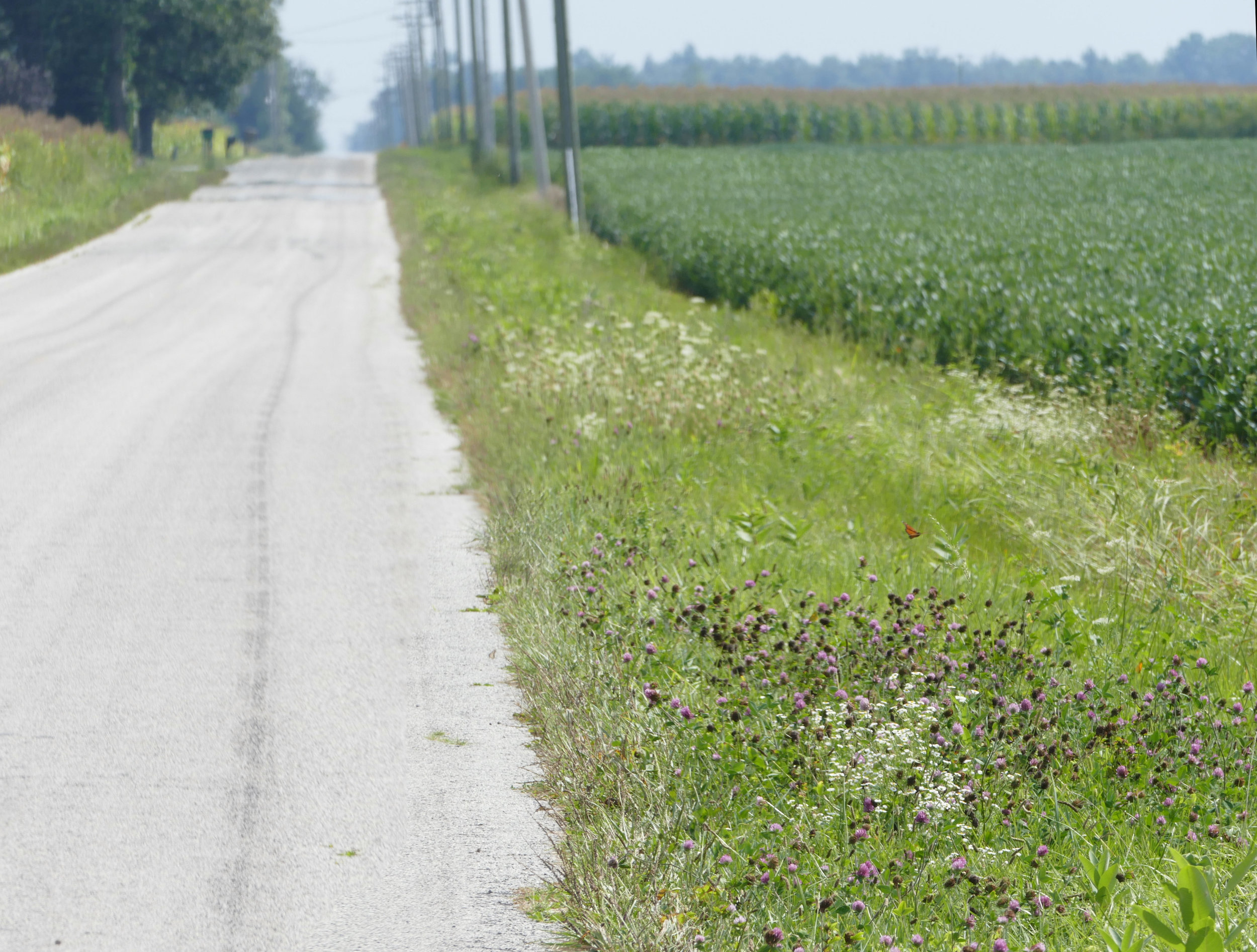 I love that the monarchs and I both enjoy the prairie roadside ditches (can you spot the monarch?).