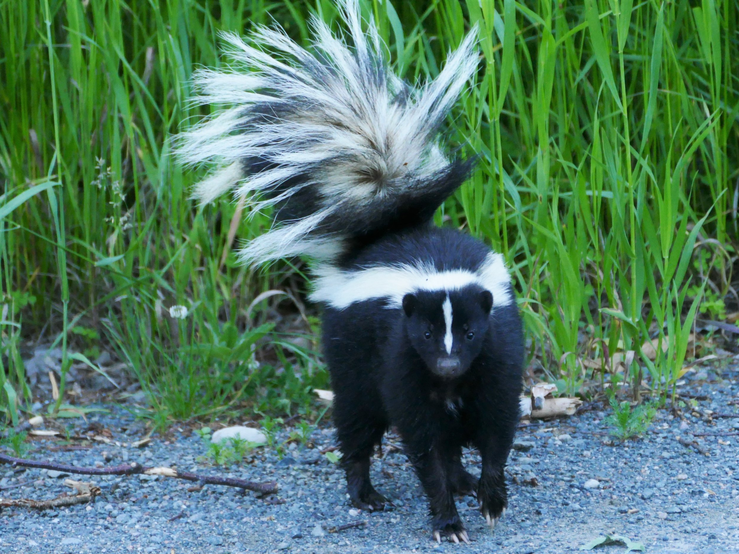 I want people to read about my heroic encounter with this skunk and immediately leave their house to go meet a skunk themselves.