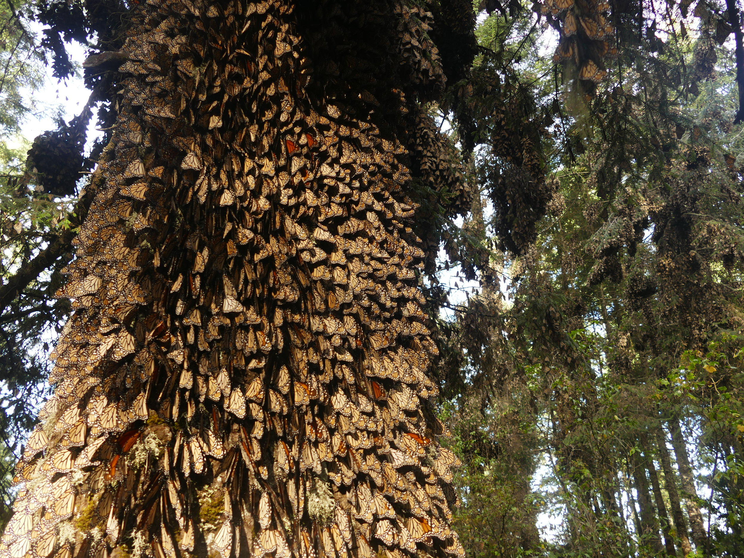 Millions of monarchs cling to the Oyamel Fir trees.