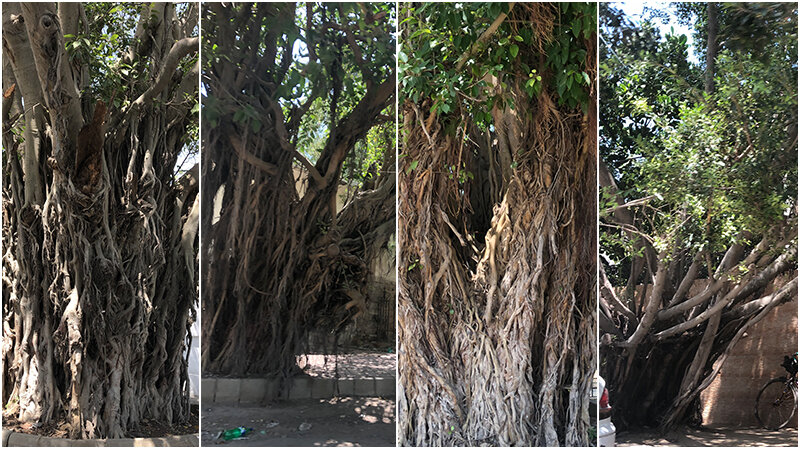 Can they be declared our natural heritage? The Banyan trees of Old Clifton, past and possible future - Article by Marvi Mazhar & Associates  https://www.samaa.tv/environment/2019/10/the-banyan-trees-of-old-clifton-past-and-possible-future/