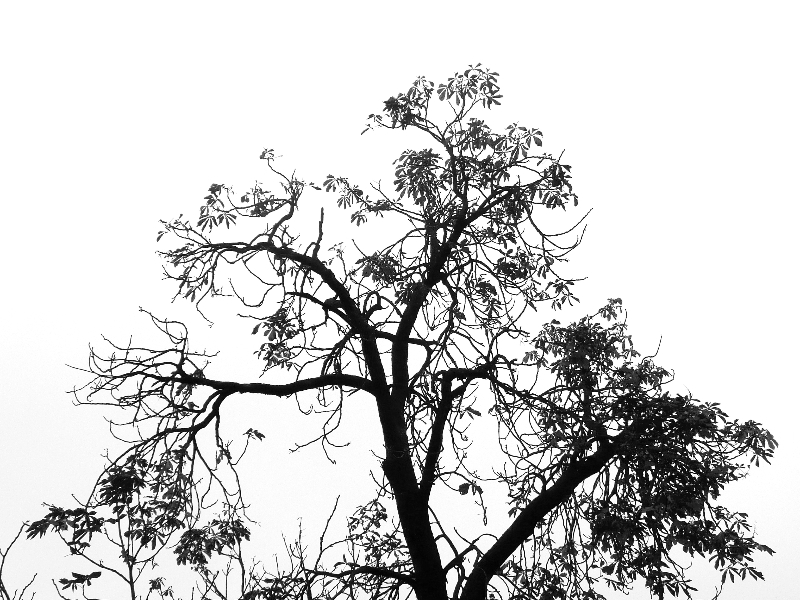 tree silhouette, brookline  (sonya kovacic)