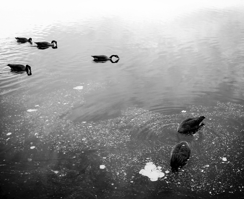 canada geese on jamaica pond  (sonya kovacic)