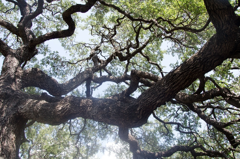 oak branches at the arnold arboretum  (sonya kovacic)
