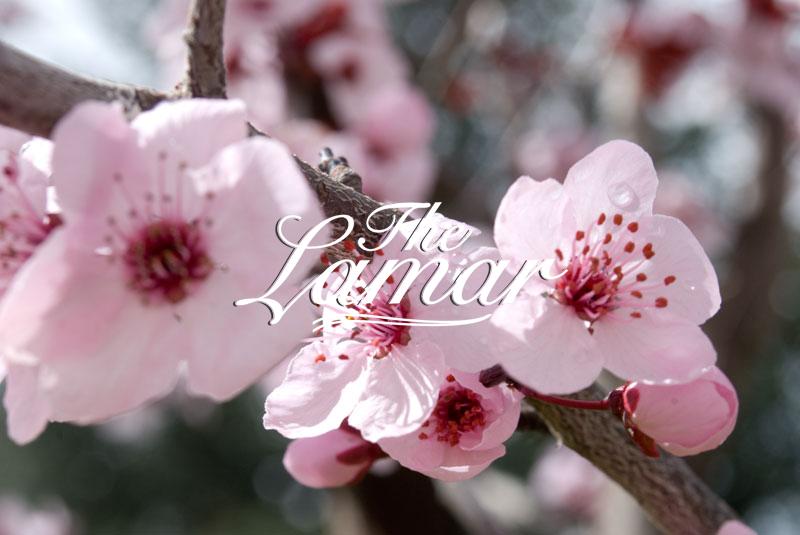 The Lamar Cherry Blossom Festival Meetup