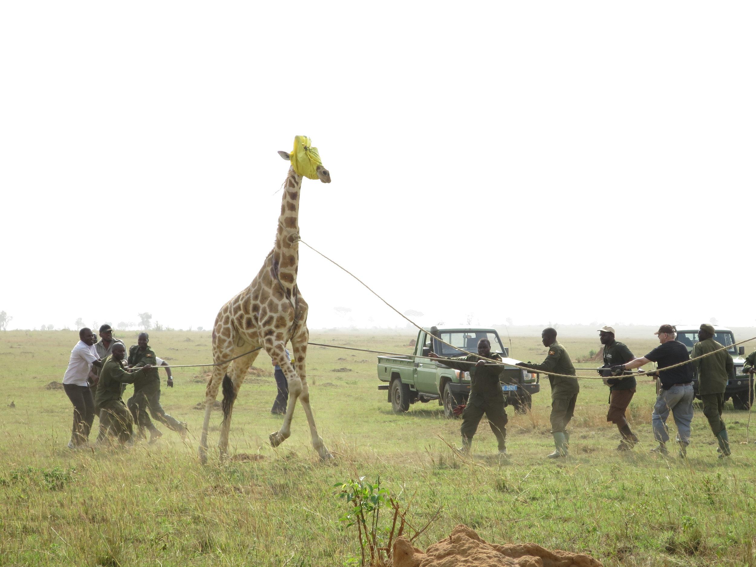 Giraffe wrangling in Murchison Falls National Park, Uganda, 2016.