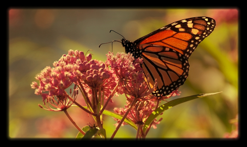 Milkweed story... - It all started when...
