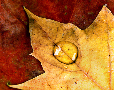 Yellow Leaf With Drop.jpg