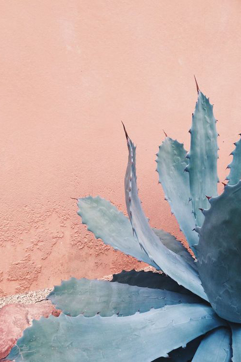 This agave cuts a stunning figure against a soft pink wall.