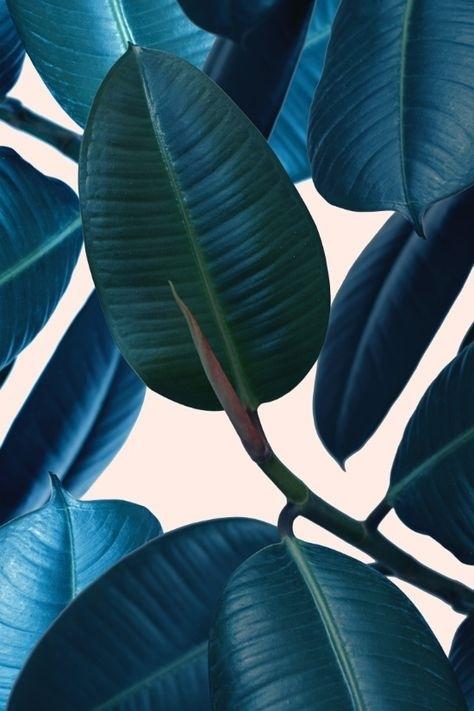 Dark waxy leaves