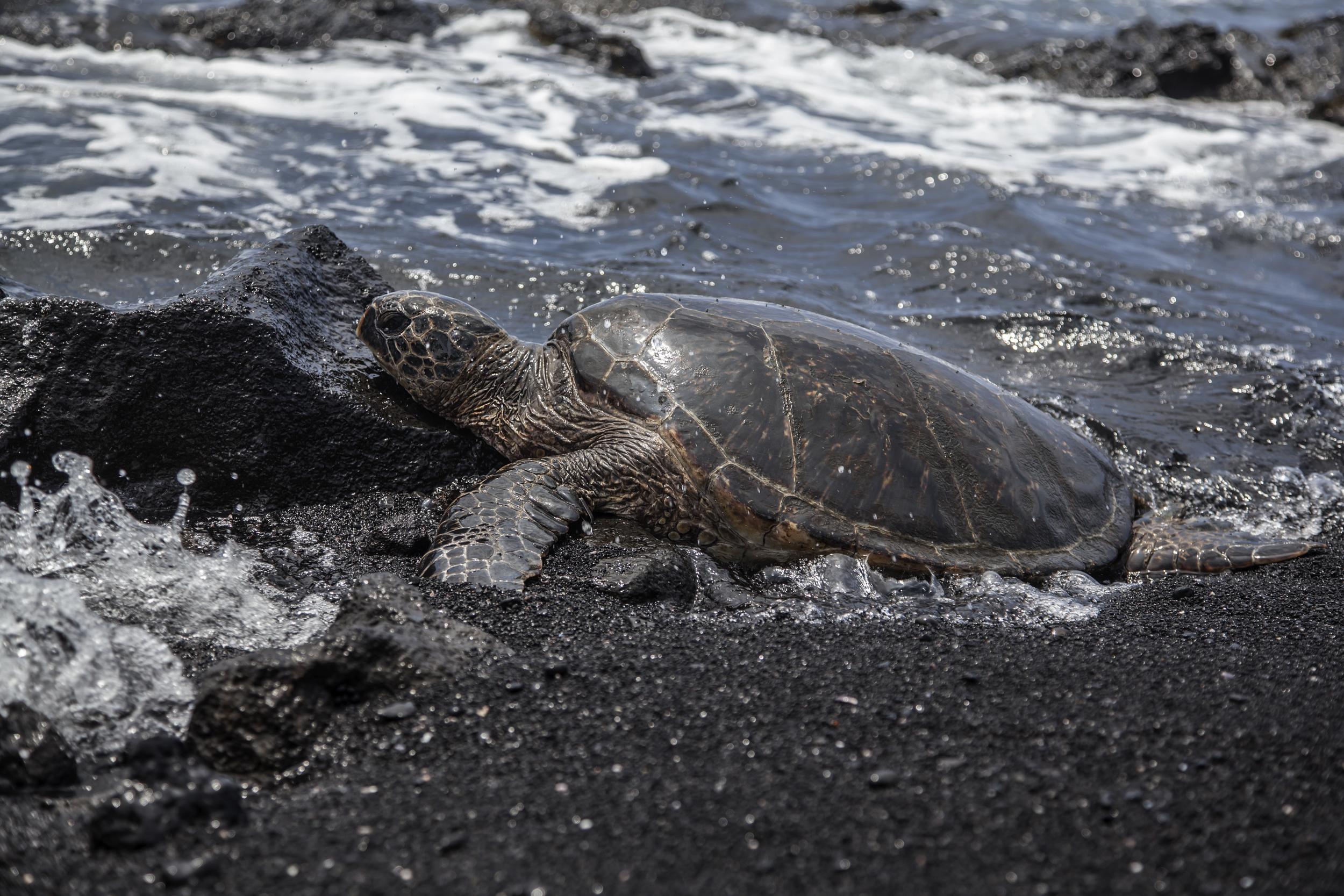 Hawaiian sea turtle on a black sand beach. Big Island, Hawaii