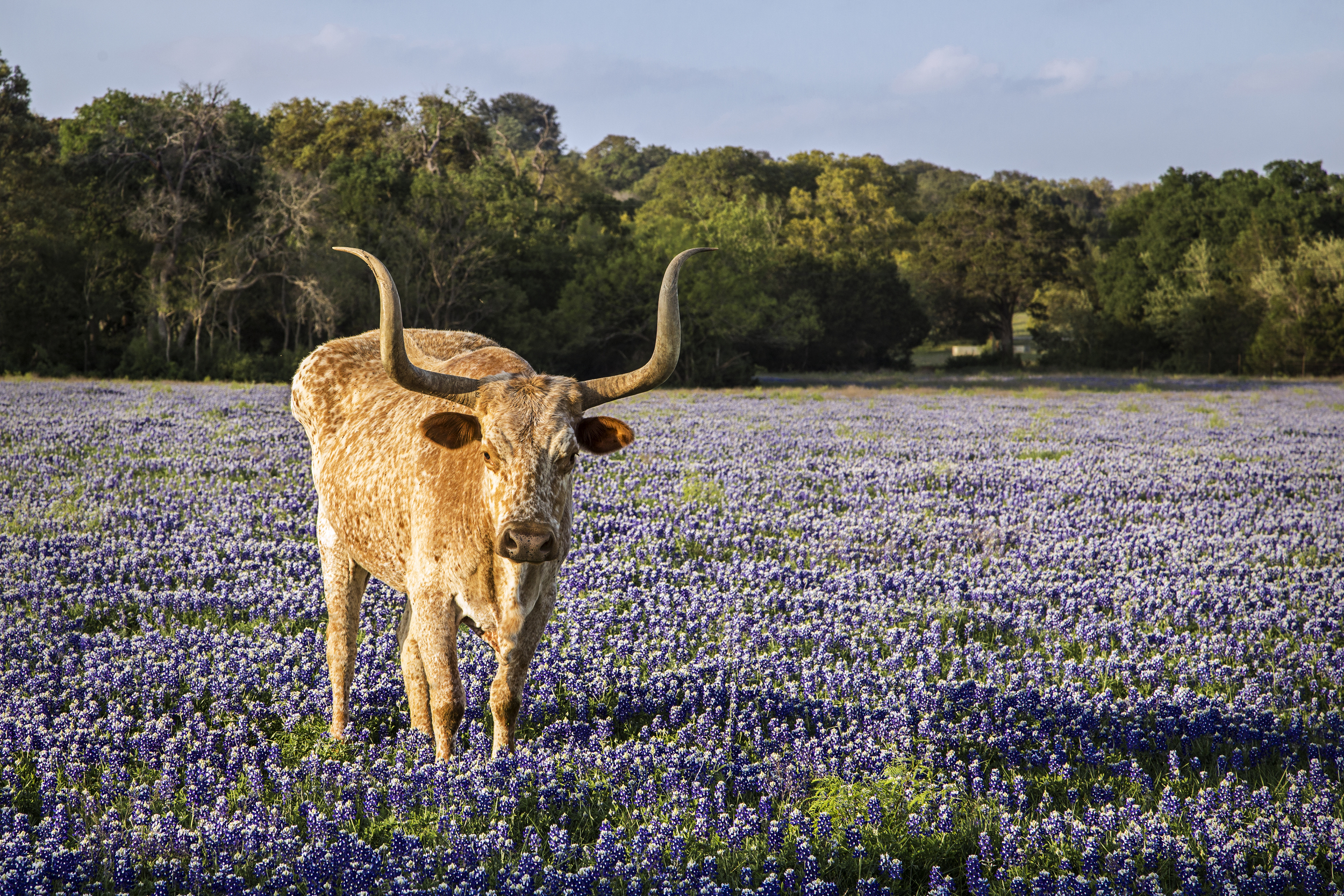 Texas longhorn in a field of bluebonnets near Seward Junction, Texas