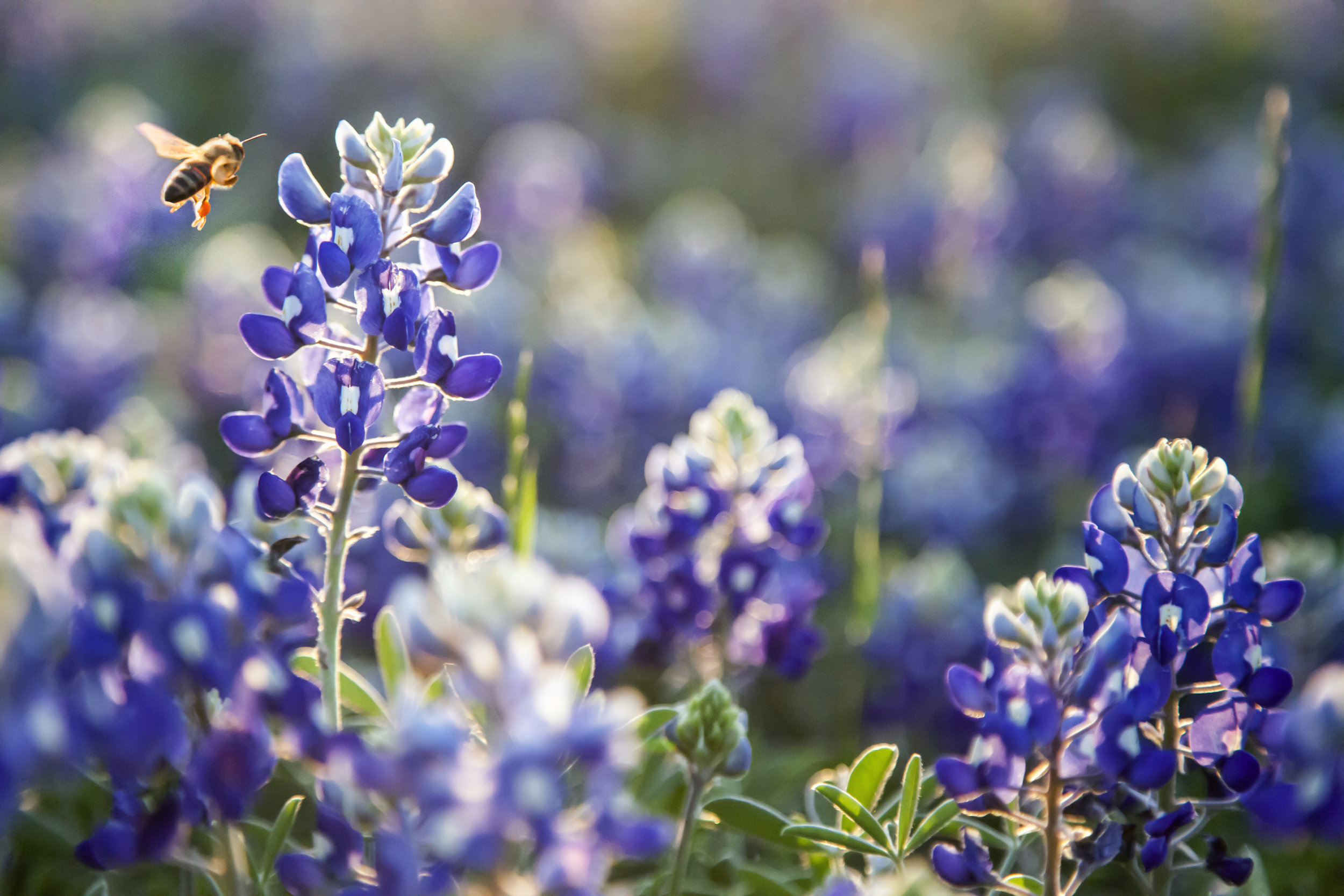 There's a tiny world among the bluebonnets. Get close to see it in action. Just watch your step! Image credit : Jason Weingart