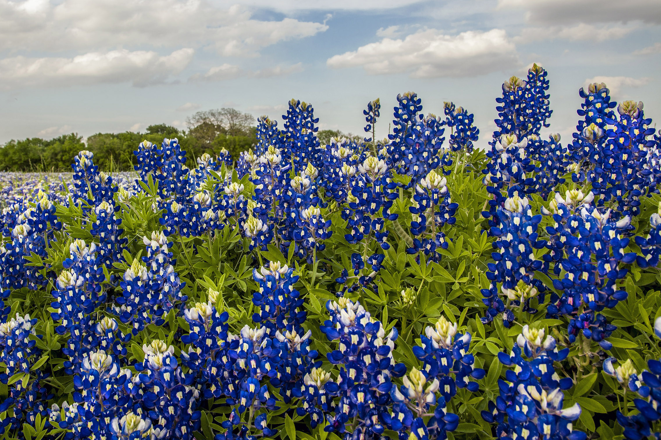 Shoot at eye level when there are a few bluebonnets.  Shoot just above eye level when there is an expanse of them.