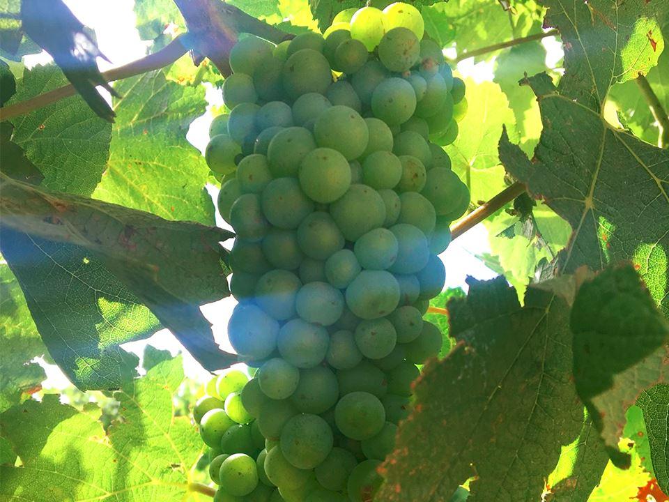 Taylors Vineyards