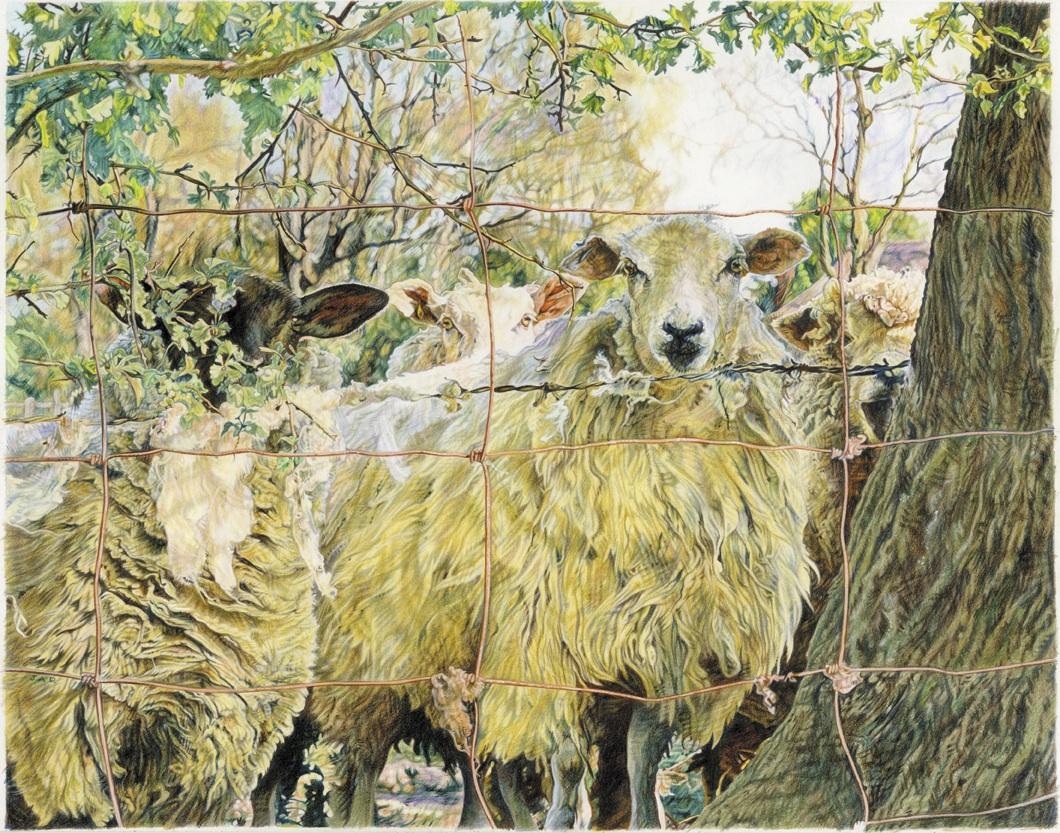 'Sheep at fence' Colour Pencil 35cm x 26.5cm
