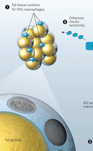 Em uma pessoa com peso normal existem 10 a 15 % de macrófagos no tecido adiposo