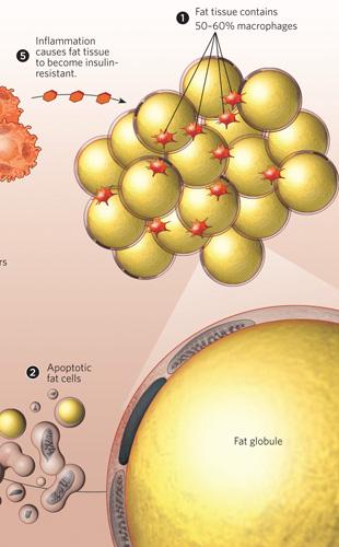 As células adiposas de um obeso possuem 50 a 60% de macrófagos