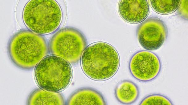 O ácido docosaexanóico (DHA) é um tipo de ácido graxo ômega-3 que pode ser extraído de algas