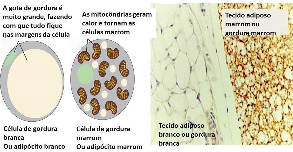O tecido marrom possui mais vasos, mais mitocôndrias, é mais escuro e mais ativo que o tecido adiposo branco.