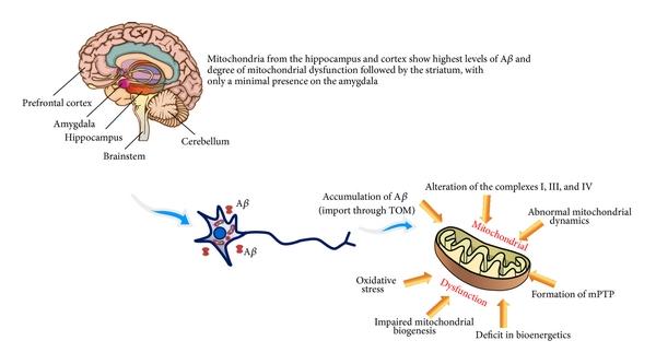 mitocondria.jpg