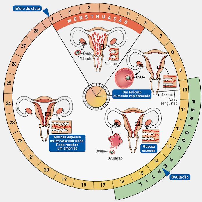 calcular-o-ciclo-menstrual.jpg
