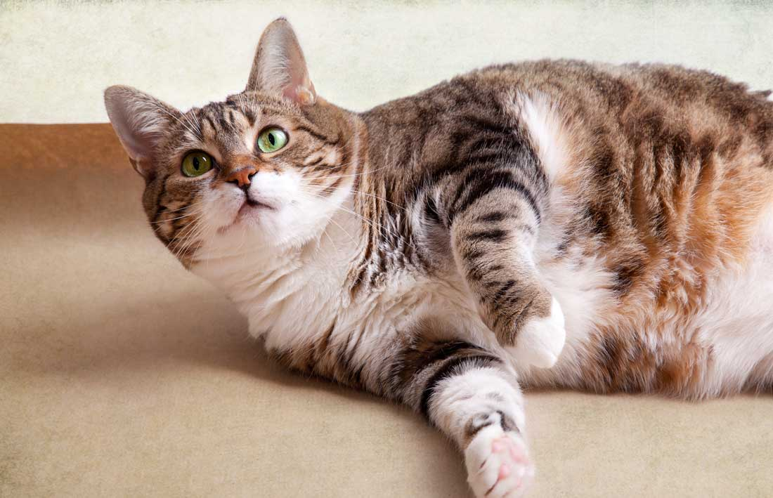 Fat-Cat-Syndrome-Feeding-a-Multi-Cat-Household.jpg