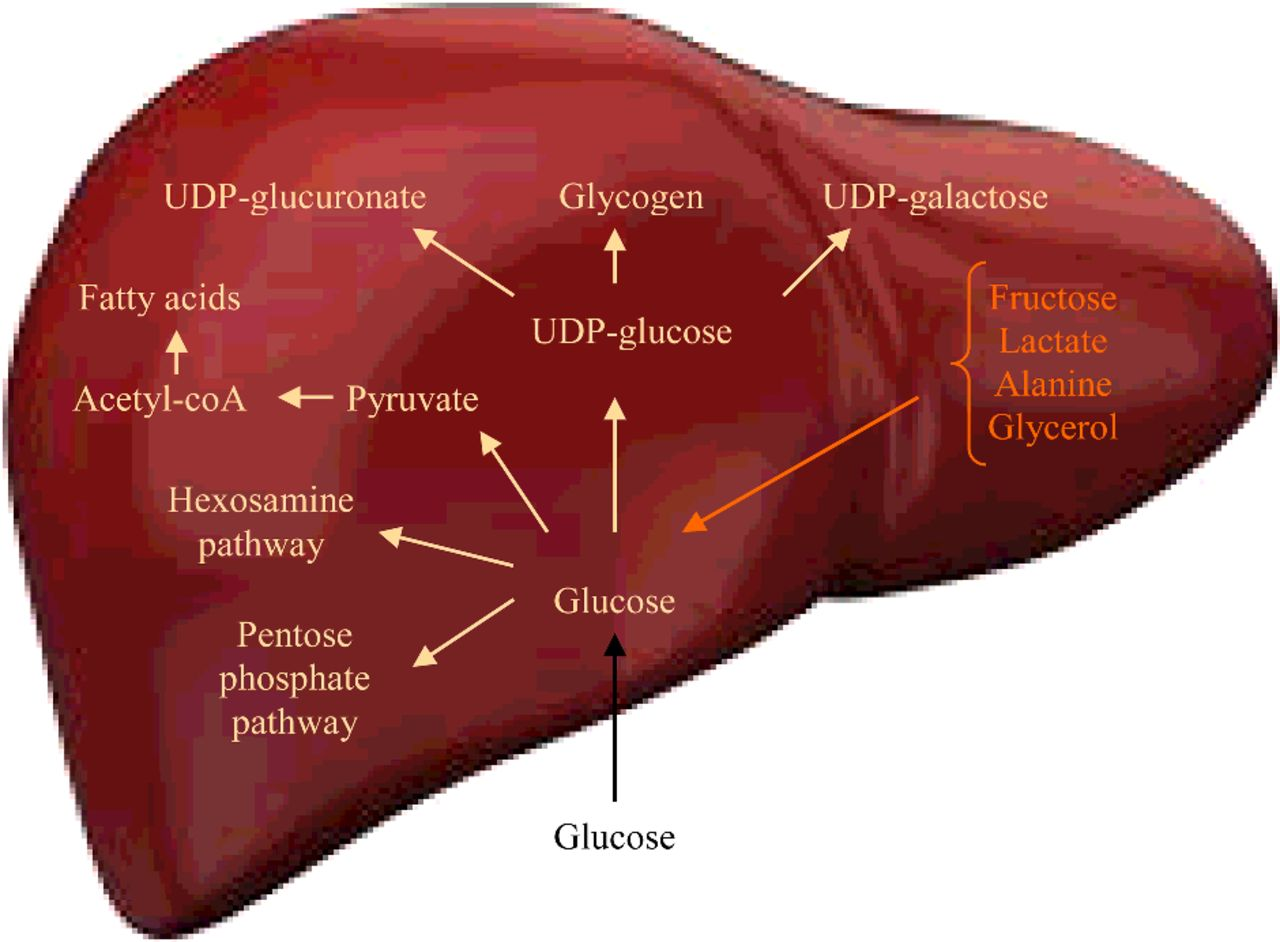 Metabolismo da glicose no fígado