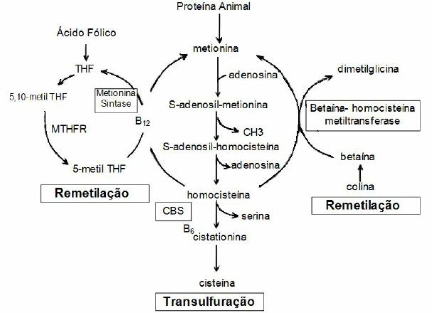 Metabolismo-da-homocisteina-A-homocisteina-e-formada-a-partir-da-metionina-Depois-de.png