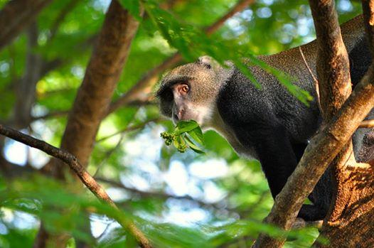 sykes monkey image