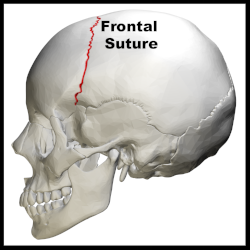 Coronal_suture_-_skull_-_lateral_view01.png
