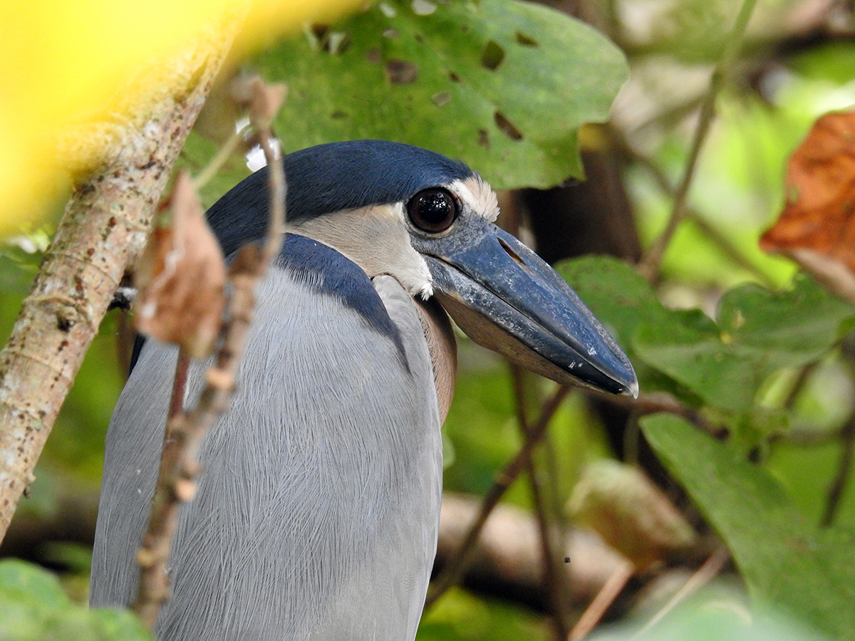 Boat-billed Heron ( Cochlearius cochlearius)