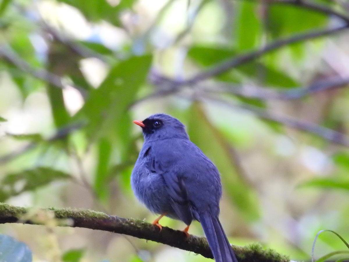 Black-faced solitaire ( Myadestes melanops)