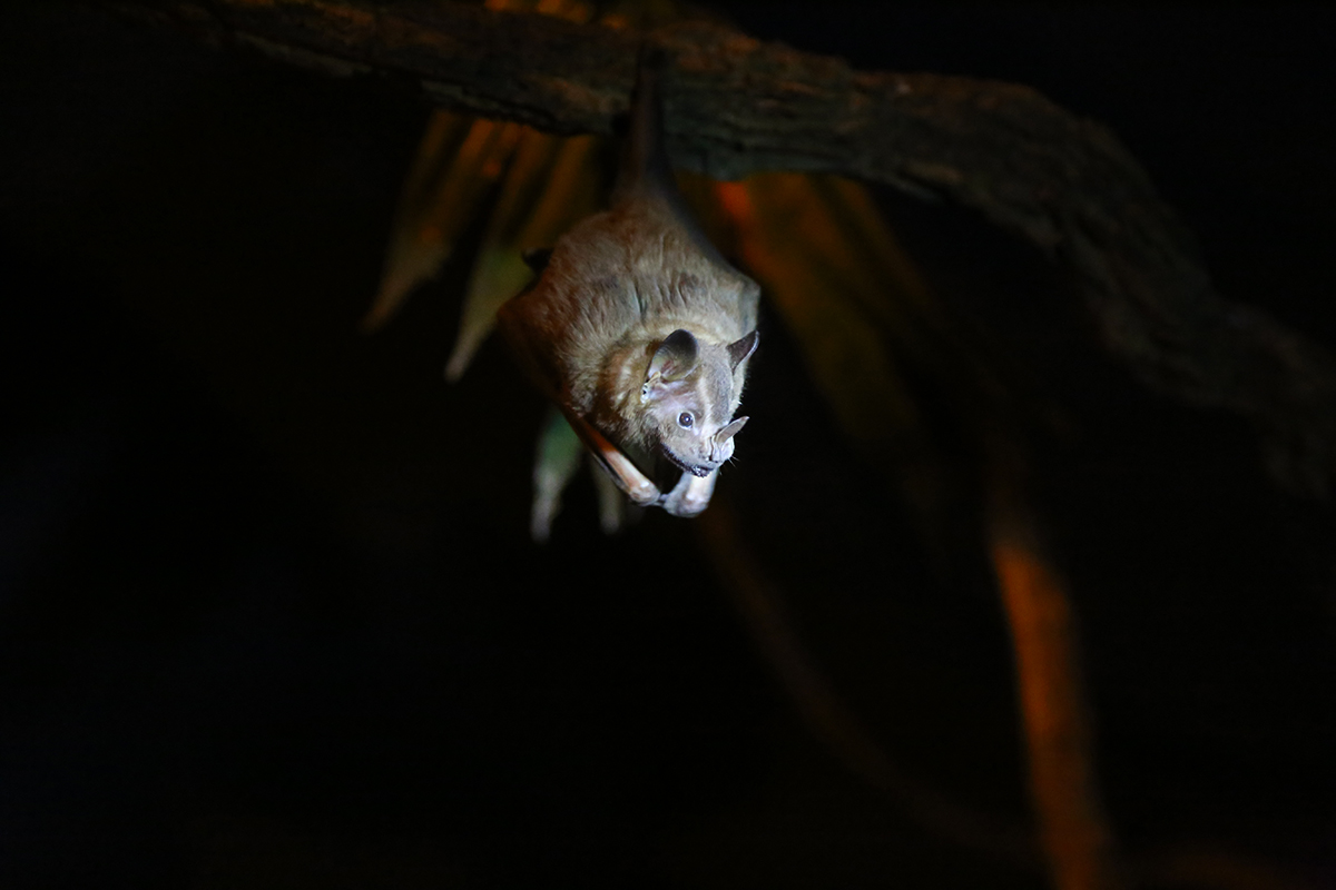 Orange nectar bat ( Lonchophylla robusta), photo taken at the Bat Jungle.