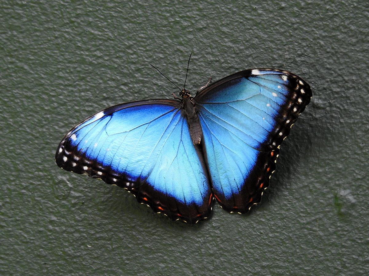 Menelaus blue morpho ( Morpho menelaus), photo taken at the Butterfly Garden.